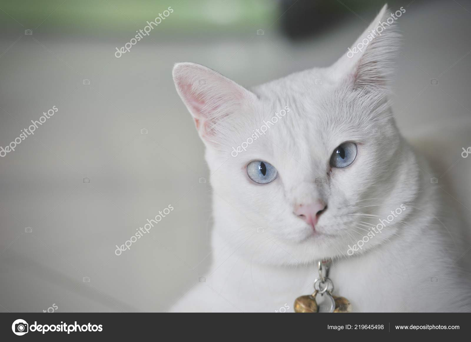 Siamese Cat Thai Domestic Cat Very Cute Smart Pet House Stock