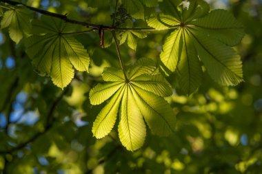 chestnut foliage backlit by the sun