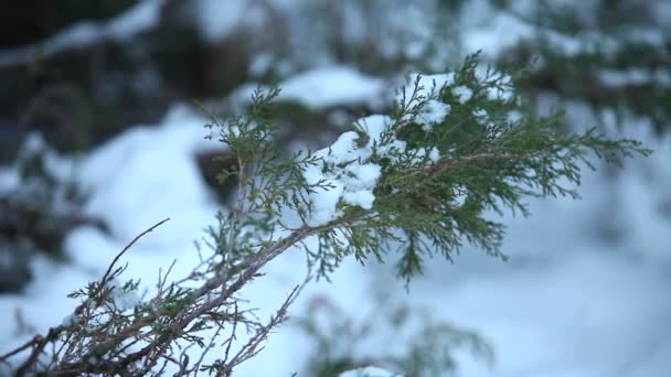 Snow-covered tree, snow lies on the branches of a tree, Christmas trees in the snow