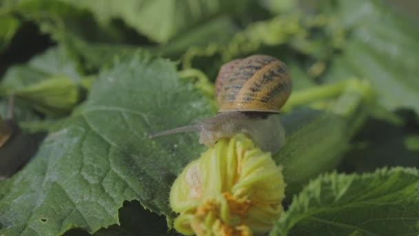 Schneckenhof. Schnecke auf einem Gemüsemark aus nächster Nähe. Schnecke im Garten. Schnecke in natürlichem Lebensraum