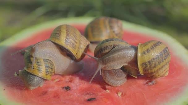 Schnecke auf einer Wassermelone in Großaufnahme. Schnecke auf einer Wassermelone. Schnecken fressen Wassermelonen. Schnecken kriechen auf einer Wassermelone.