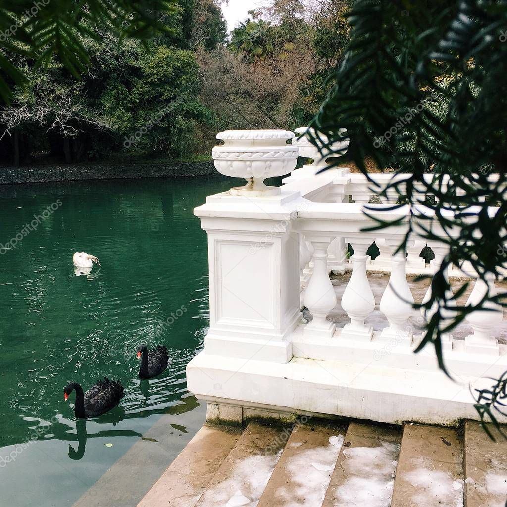 Black swans in a winter turquoise lake, next to a white beautiful balustrade. Square