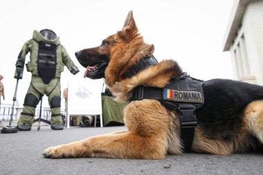 Alman çoban ordusu köpek patlayıcı tespit etmek için eğitimli, birlikte
