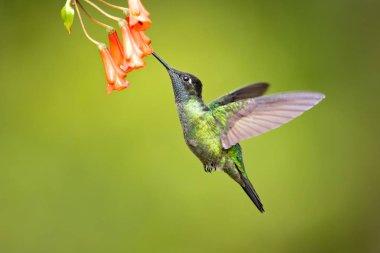 Talamanca hummingbird or admirable hummingbird (Eugenes spectabilis) is a large hummingbird. The admirable hummingbird's range is Costa Rica to Panama.