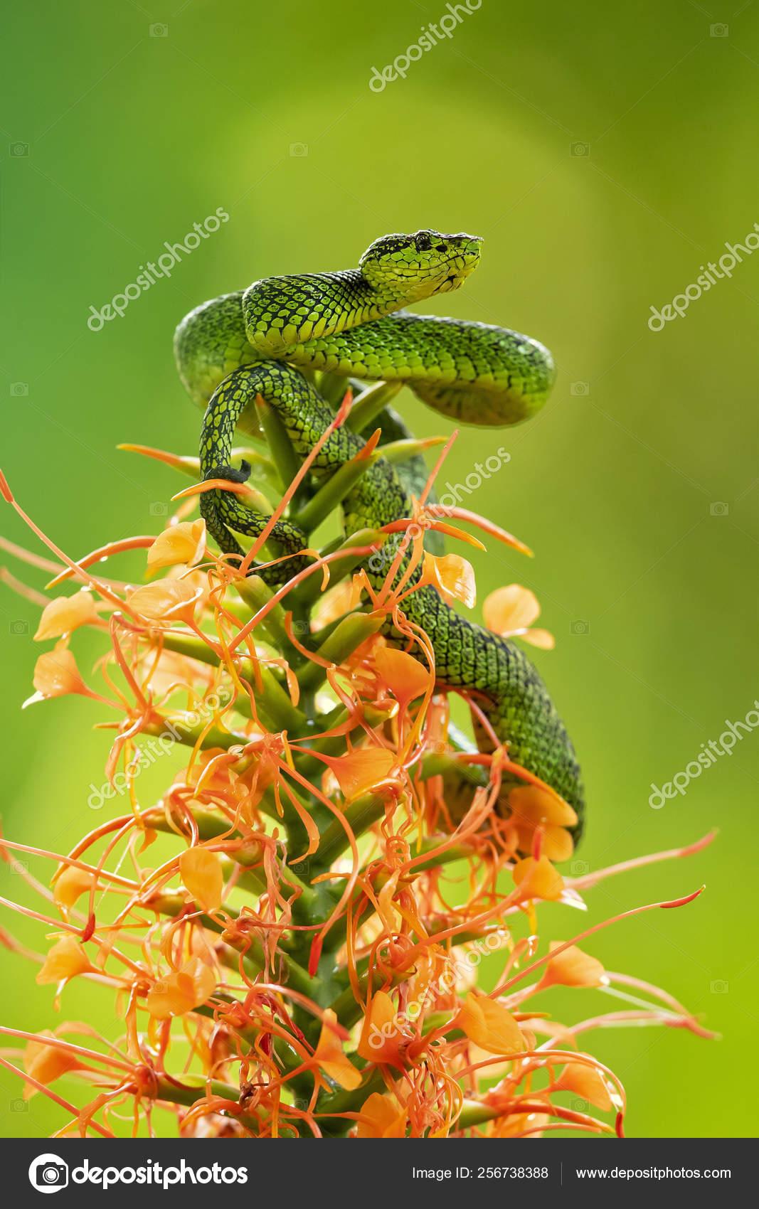 Black Speckled Palm Pit Viper Bothriechis Nigroviridis