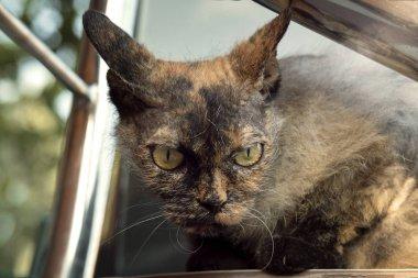 Charming Cornish Rex cat with yellow eyes.