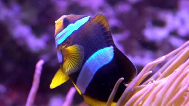 Yellowtail Clownfish swimming  around Sea Anemone.