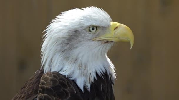 Nahaufnahme von einem Weißkopfseeadler, wie es, um aussieht