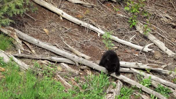 Black bear cubs wandering over tree branches on hillside as they explore.
