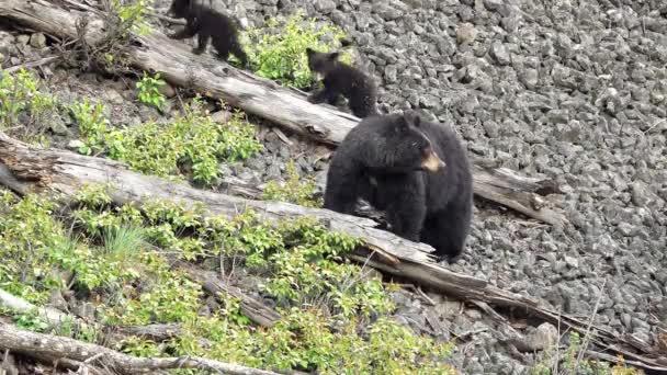 Koca fekete medve, 3 kölyke domboldalon helyezkedik el, a vad, mint 2 odamentem napló
