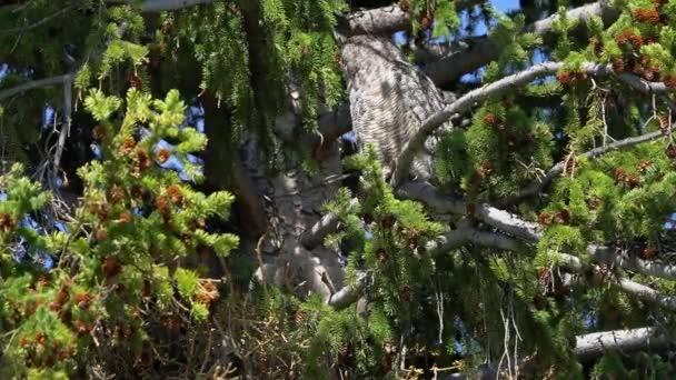 Virginský, posazený v stromu, jako dítě se pohybuje v hnízdě