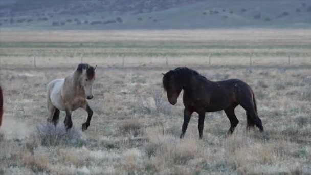 Two wild horses digging at the ground as they face each other