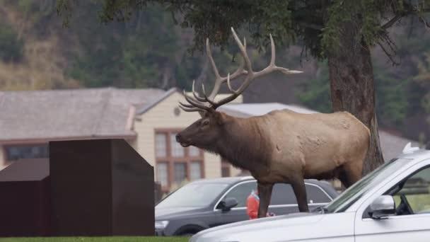 Bulle Elch läuft an Autos vorbei neben Gebäude auf grünem Gras in Mammoth Hot Springs in Yellowstone.