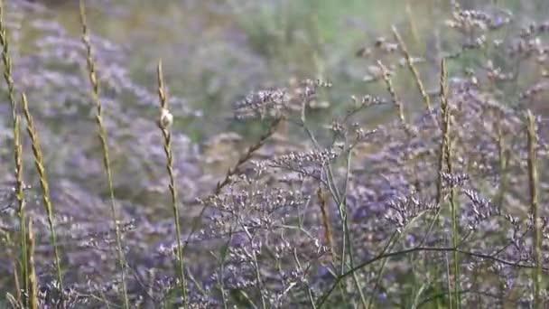 Pole fialové květy se potácet od větru