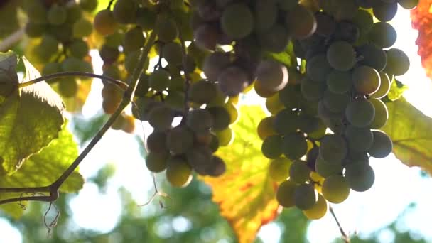 Ripe grapes in the sun.
