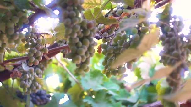 Zralé hrozny. Hrozny na slunci. Modré a zelené hrozny. Slunci třpytí skrze révy. Zralé velké hrozny vína