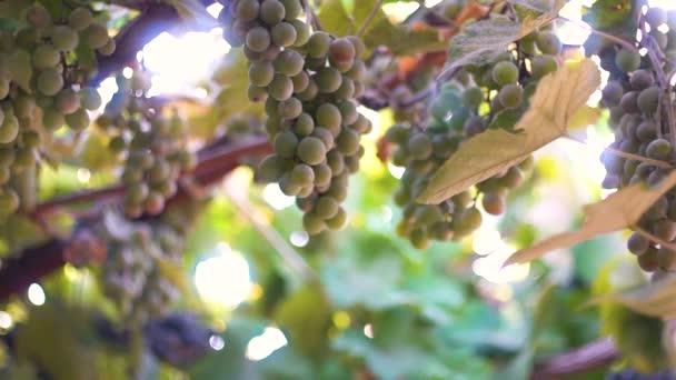 A háttérben a nap érett szőlőfürtök