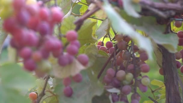 Bunches of ripe grapes on a plantation