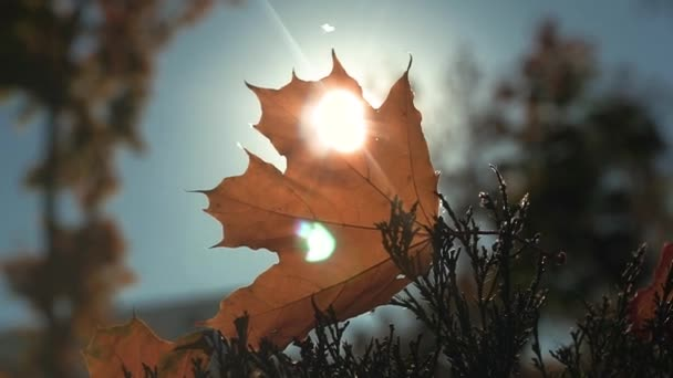 Autumn yellow leaf in the sun.