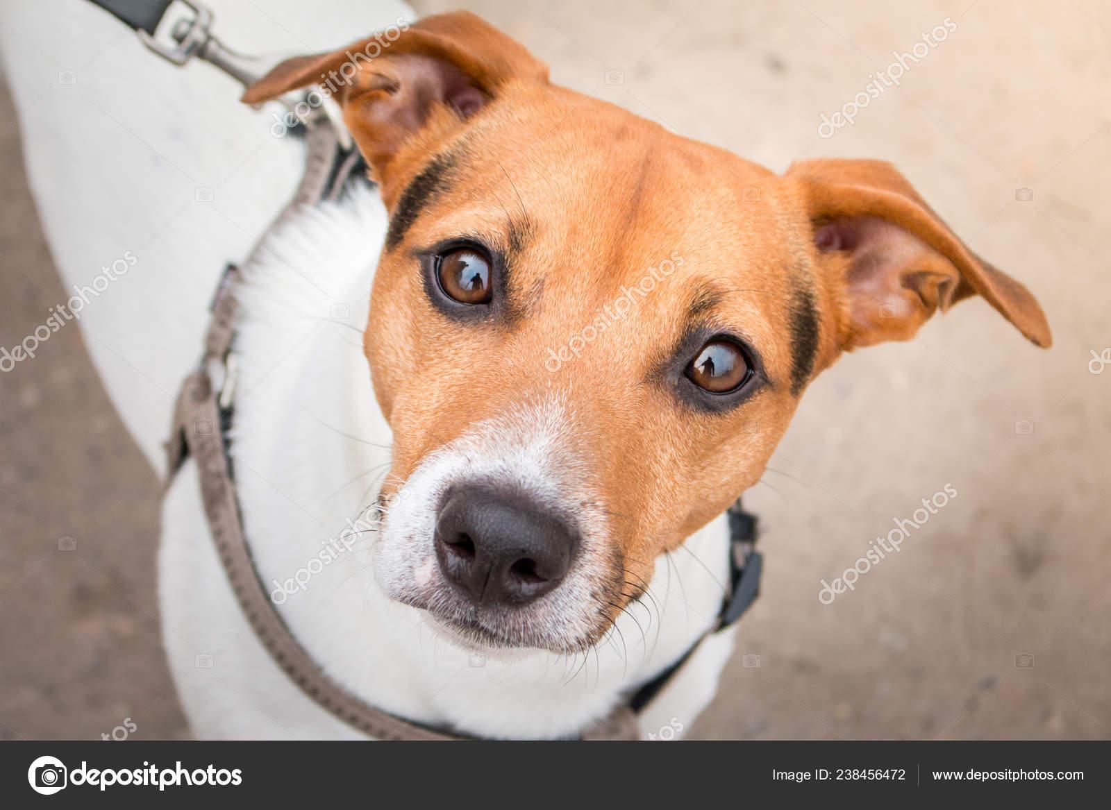 Portrait Dun Bon Chien Jack Russell Terrier En Regardant La