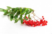 Bunch of red ripe rowan with green rowan leaves on white background
