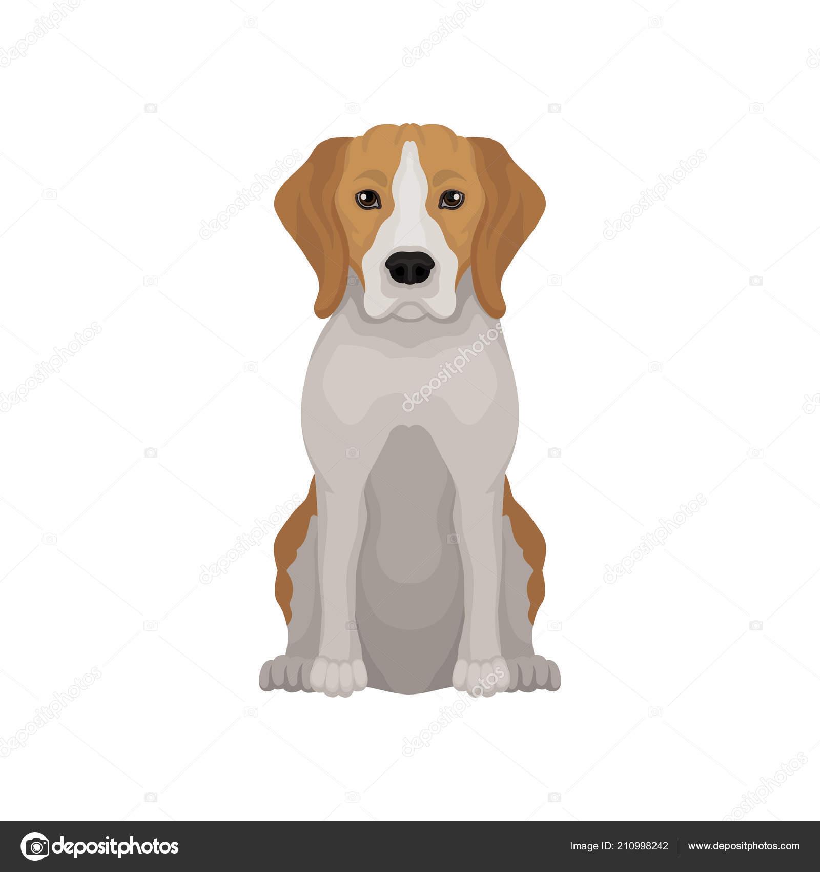 Adorabile Beagle In Posizione Seduta Piccolo Cane Da Caccia