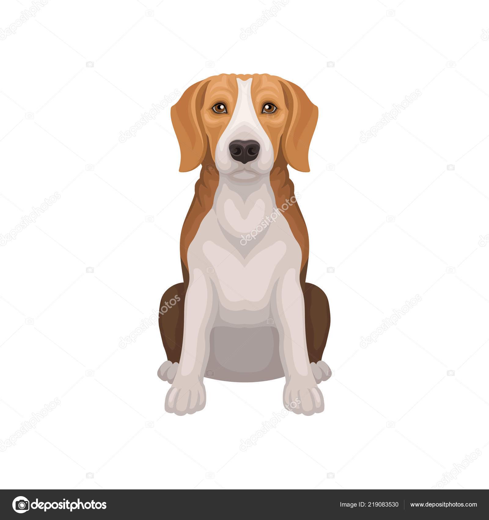 Beagle Na Błyszczące Oczy W Pozycji Siedzącej Małe Rasy Psów