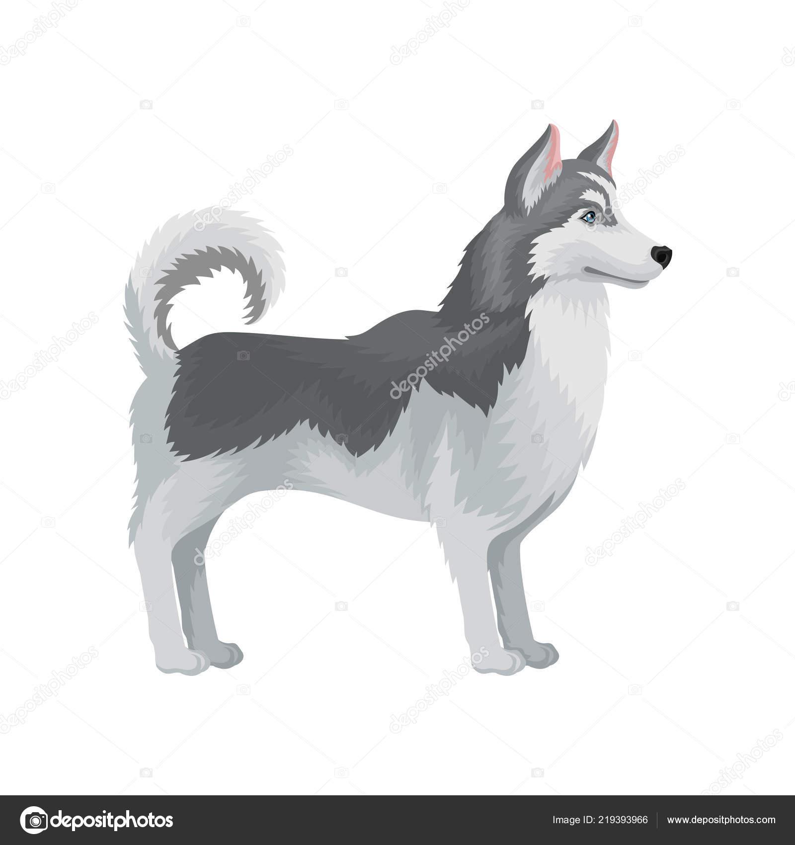 Dospely Sibirsky Husky Stojici V Racku Bocni Pohled Pes S Sedou