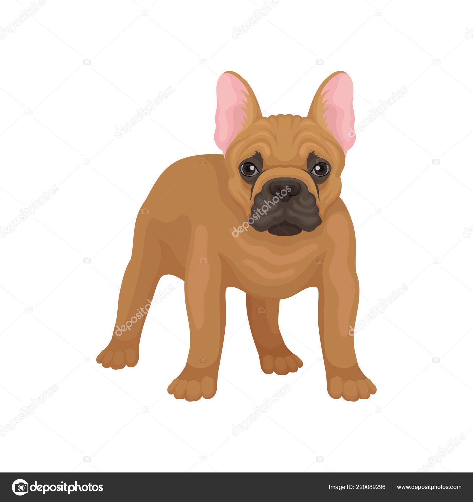 Ritratto del bulldog francese di standing vista frontale. cane con