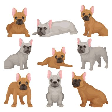 Flat vector set of gray and brown french bulldog puppies in different poses. Small breed of domestic dog. Home pet