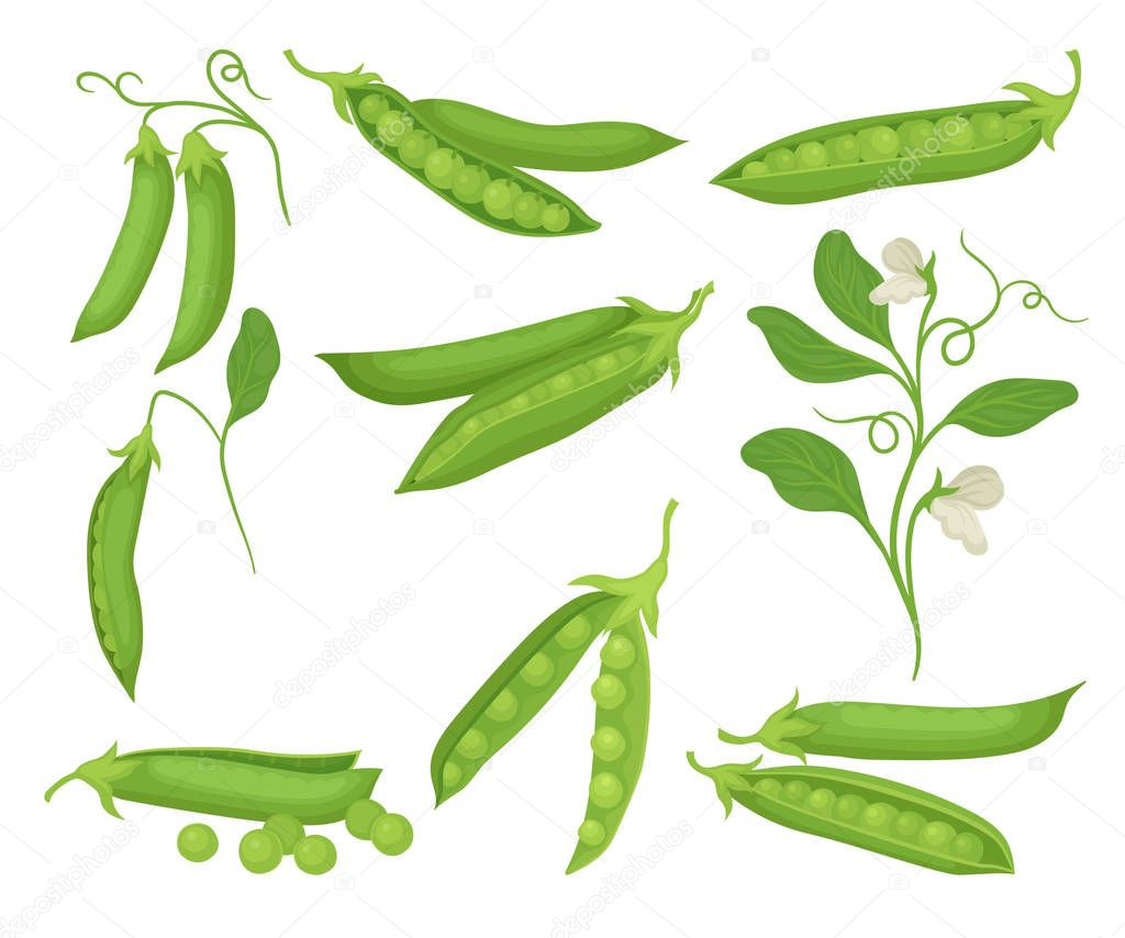 Flat vector set of green peas with pods. Natural and healthy food. Agricultural plant with flowers. Organic vegetable