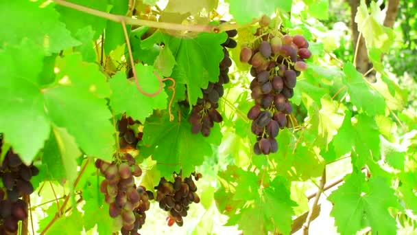 feketeszőlő a szőlőskert egyik ágán