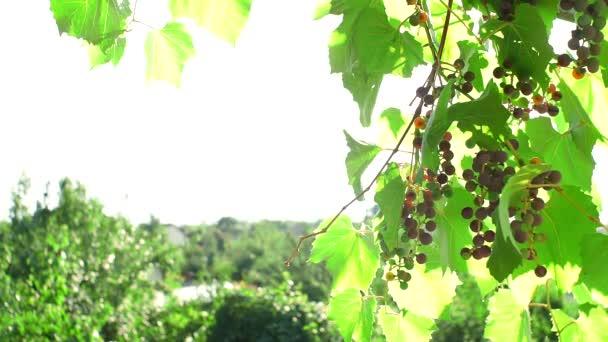 fekete szőlő szőlőültetvény természetes alapon