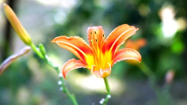 narancssárga liliom virág Vértes a természeti háttér