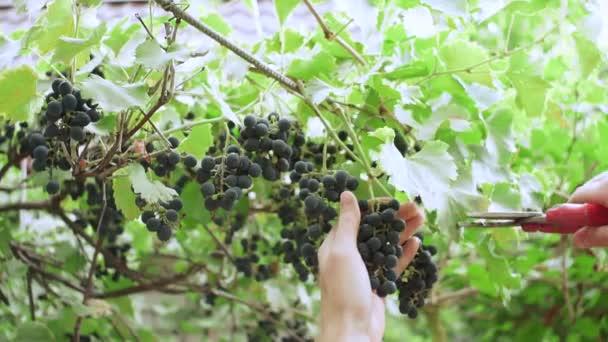 érett fekete szőlő szüretelése