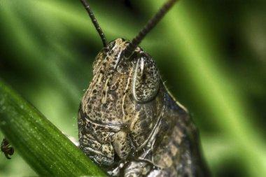 locust head green