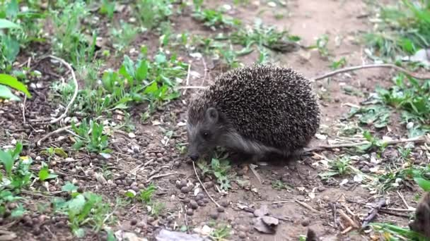 hedgehog animal in the wild closeup. Funny animal hedgehog