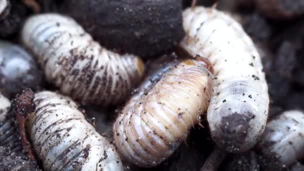 Weiße Würmer in Nahaufnahme Makro kann Käferlarven in den Boden.
