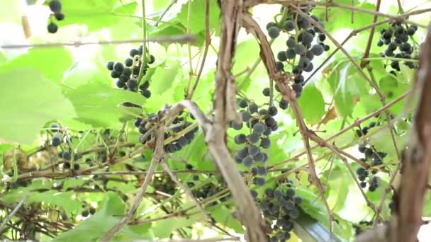 Ripe bunches of black grapes the wine at the winery. Green leaves, authentic rural vineyard.