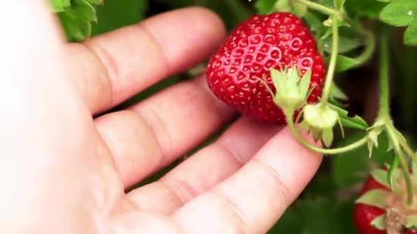zralé jahody uzavírají selektivní zaměření. Sklizeň zralé bobule
