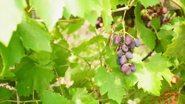 red black grapes in the vineyard, the concept of grape harvest