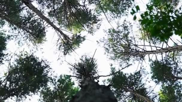 Tájkép lenyűgöző erdő hatalmas fenyőfák, a nyár folyamán. alsó nézet