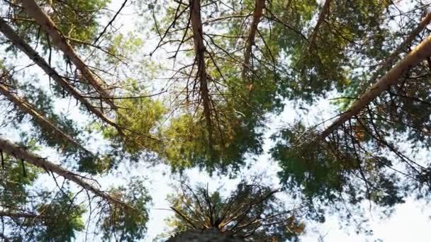 erdő, borászat, fenyőerdő, fenyőfa, tündérerdő, érintetlen lucfenyő