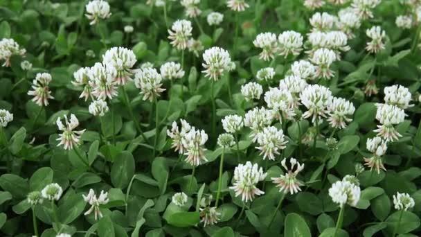 květy jetele bílého. Holandský jetel na trávníku na jarní nebo letní zahradě. květinové pozadí. Kvetoucí ekologie krajina přírody