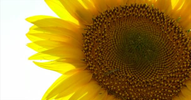 Slunečnice v poli ve větru.