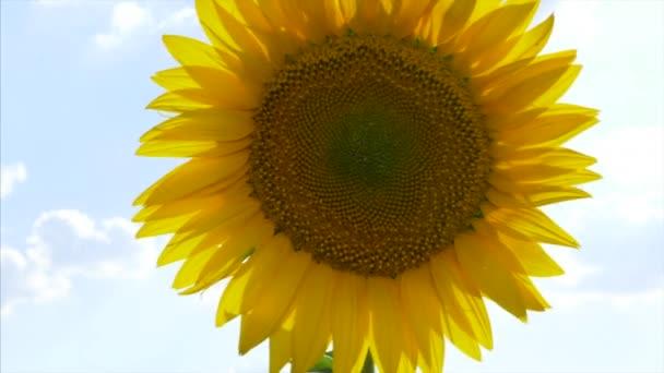Slunečnice na poli houpající se ve větru.
