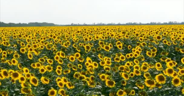 Sunflowers panning camera.