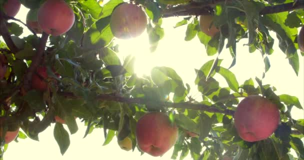 Ripe Beautiful red Apples Hang on the Apple Tree, Bright Sunlight and Light and Wind Play with Leaves and Fruit. Concept of Healthy Eating. Apple Trees with Red Apples. 4K.