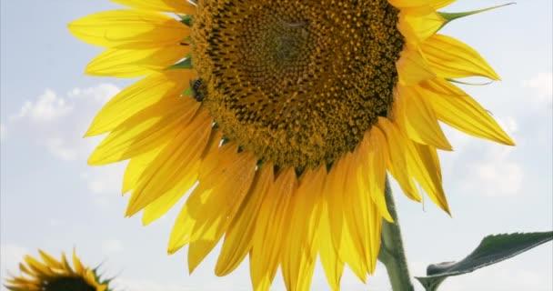 Včela, pracující na slunečnicový modré oblohy a slunečného počasí. 4k.