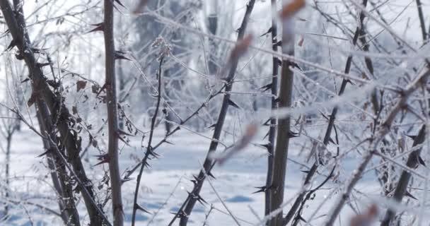 Zasněžené stromy, suché rákosí ve sněhu, jasné sluneční světlo padající sníh, sněhové vločky padající ze stromů.